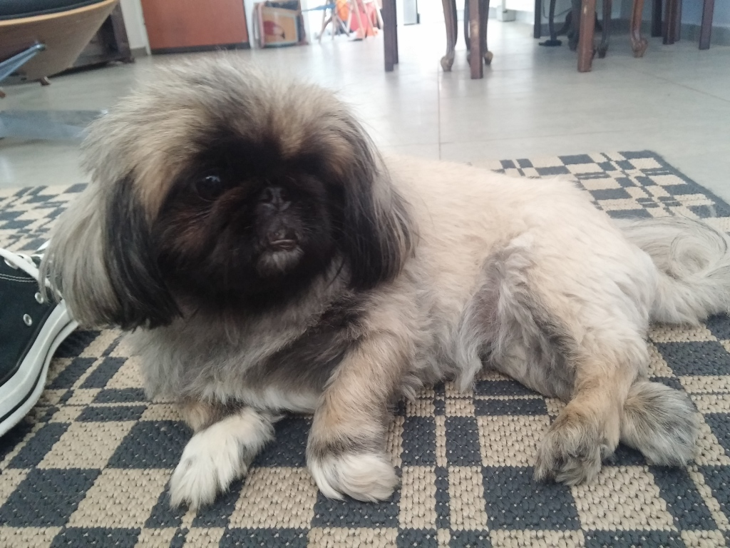 looli pekingese dog  - orly zakay acupuncture