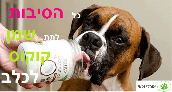 coconut oil for dogs1 - orly zakay