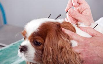 רפואה סינית בבעלי חיים